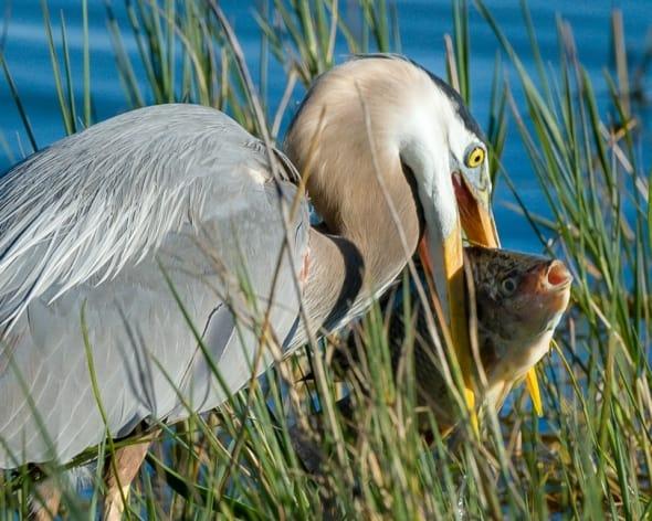 Great Blue Heron prefers fish