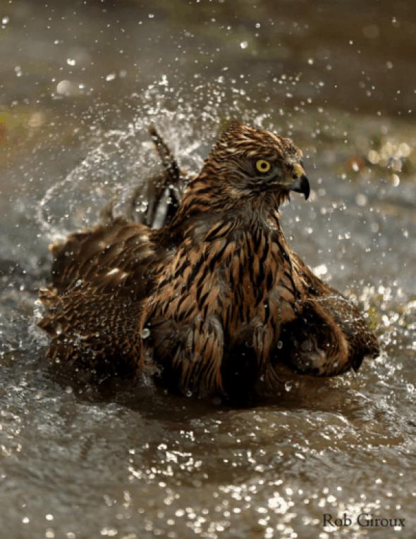 Goshawk bathing