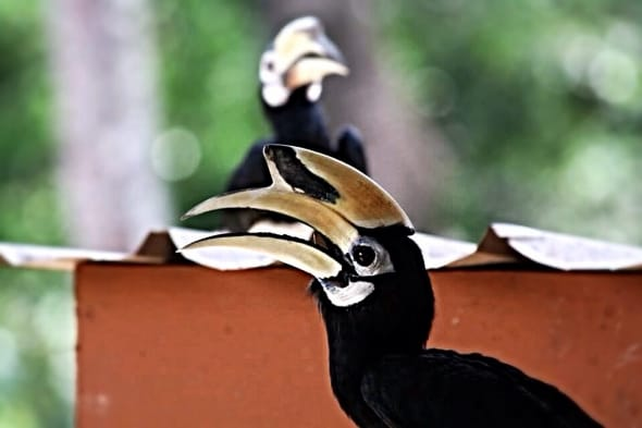 Just a couple of Hornbills