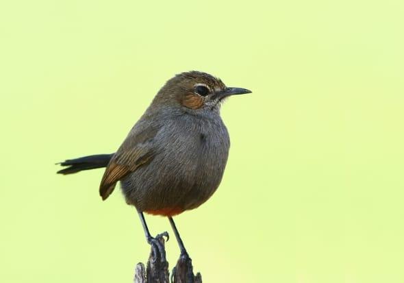Indian Robin Female