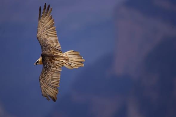 Lammergeier in flight, Ordesa National Park, Spain