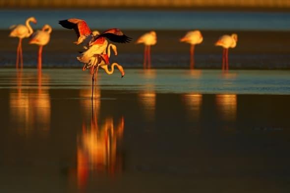 Flamingos in Fuente de Piedra Natural Park,  Spain