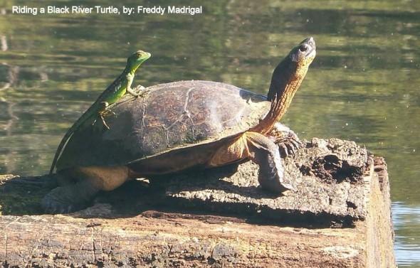 Riding Black River Turtle