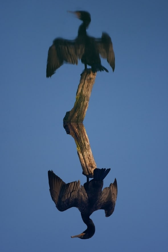 Alternate reality for Neotropic Cormorant