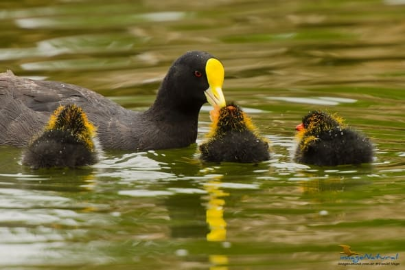 White-winged Coot (Fulica leucoptera)