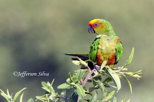 Golden-capped Parakeet (Aratinga auricapillus)