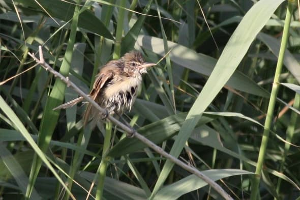 Basra Reed Warbler after bathing