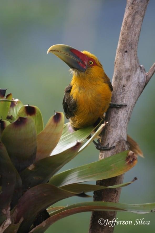 Saffron Toucanet (Pteroglossusbailloni)