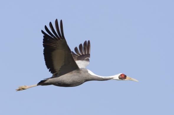 White-naped Crane In Flight