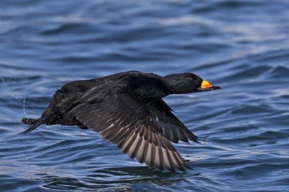 Black Scoter (male) in Flight
