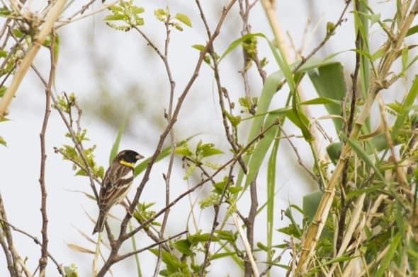 Yellow-breasted Bunting (Emberizaaureola)