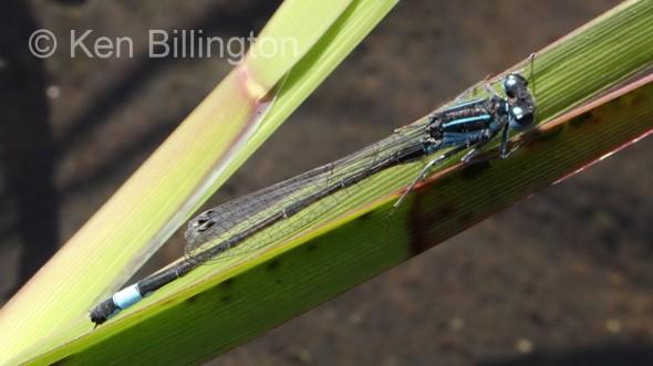 Blue-tailed Damselfly (Ischnura elegans) (2).jpg