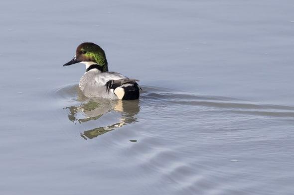 Falcated Duck (male breeding)
