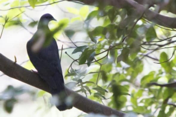 Japanese Wood Pigeon (Columba janthina)