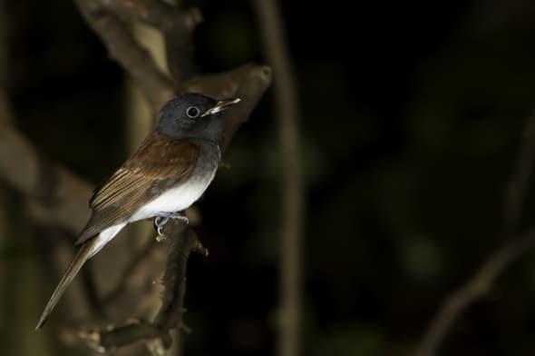 Japanese Paradise Flycatcher (female)