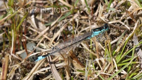 Blue-tailed Damselfly (Ischnura elegans) (3).jpg