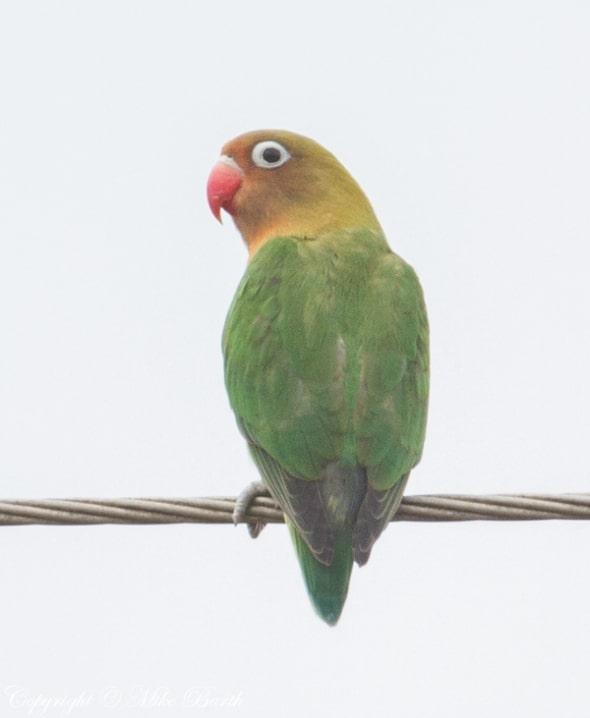 Fischer's Lovebird Agapornis fischeri
