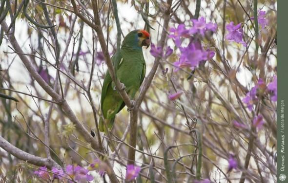 Red-browed Amazon, Amazona rhodocorytha