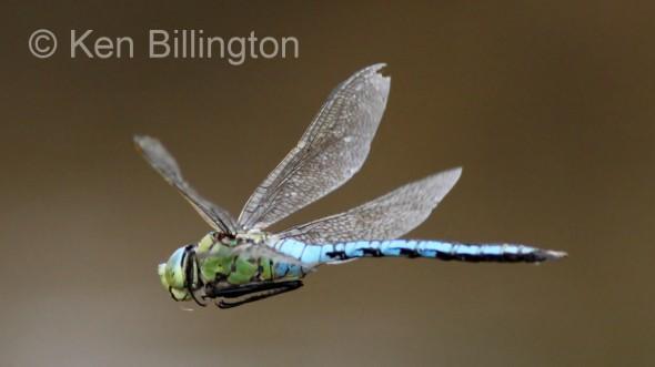 Emperor-Dragonfly
