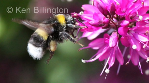 Bumblebee-