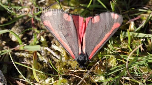 Cinnabar Moth (Tyria jacobaeae) (1).jpg