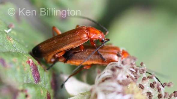 Red-Soldier-Beetle