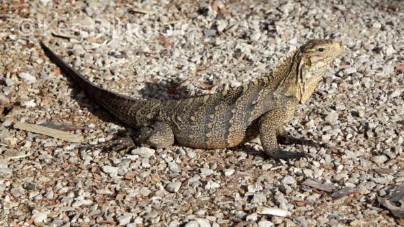 Iguana (Iguana iguana) (2)