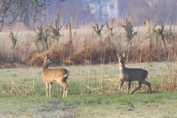 Roe Deer on the Rhine Delta (03)
