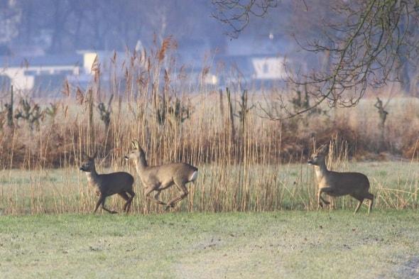 Roe Deer on the Rhine Delta (04)