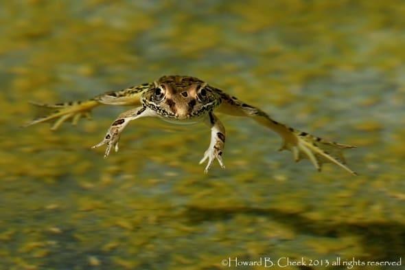 Hang Time (Leopard Frog)