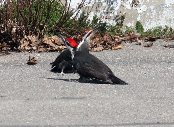 Pileated Woodpecker Dance