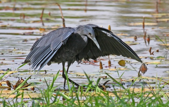 Black Heron , forming a canopy