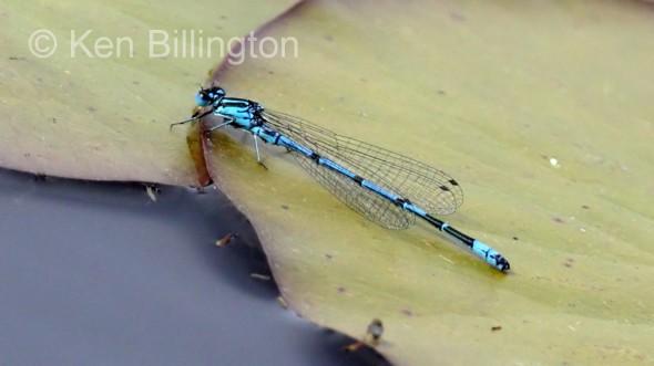 Common Blue Damselfly (Enallagma cyathigerum) (4).jpg