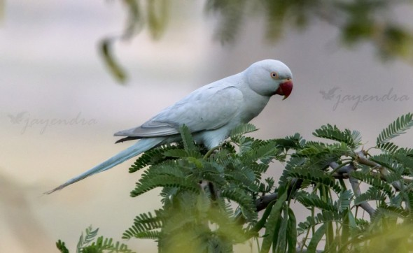 Lucaminc Rose Ring Parakeet