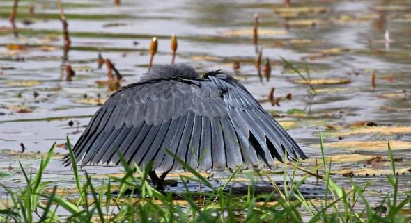 Black Heron , screening under canopy