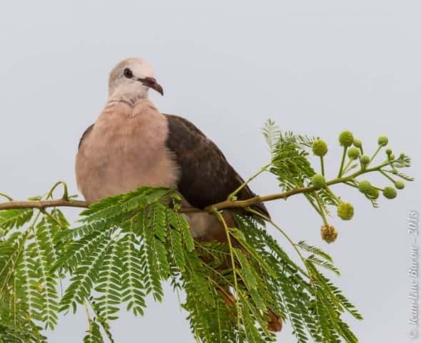 Pink Pigeon Nesoenas mayeri (EN)