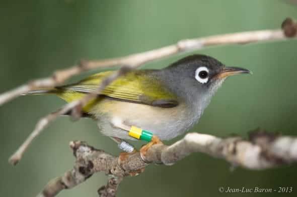 Mauritius Olive White-eye Zosterops chloronothus (CR)