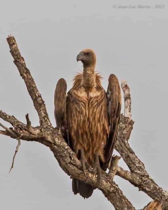 White-backed Vulture Gyps africanus (EN)