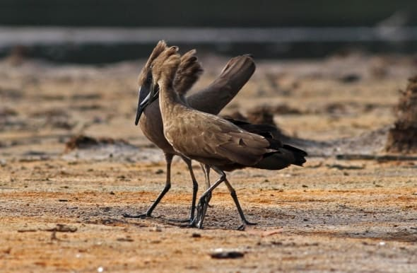 Hamerkop (2), prelude to false mounting