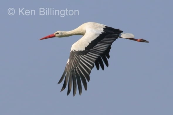 White Stork back on the Rhine Delta