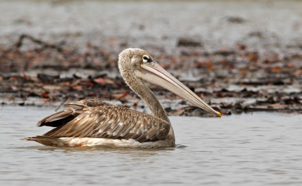 Pink-backed Pelican, swimming