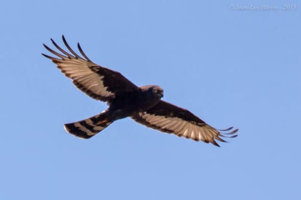 Black Harrier Circus maurus