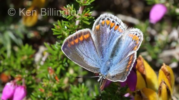 Common-Blue-