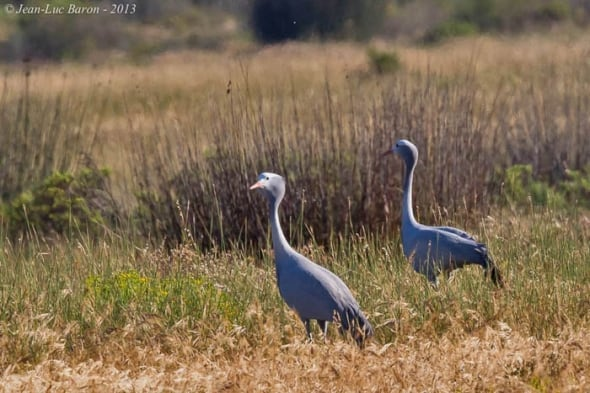 Blue Crane Anthropoides paradises