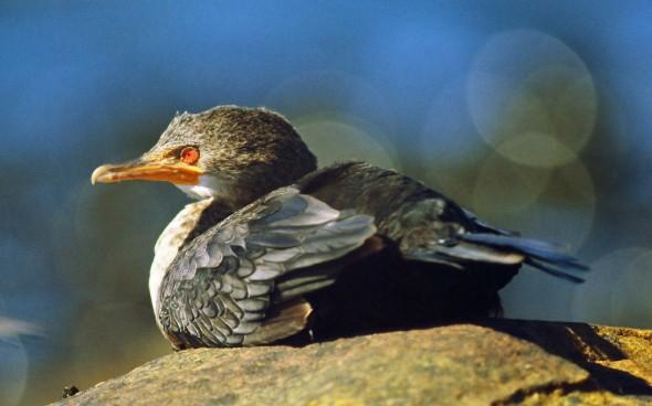 Crowned Cormorant Phalacrocorax coronatus