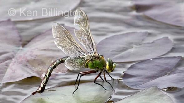 Emperor-Dragonfly-(1).JPG