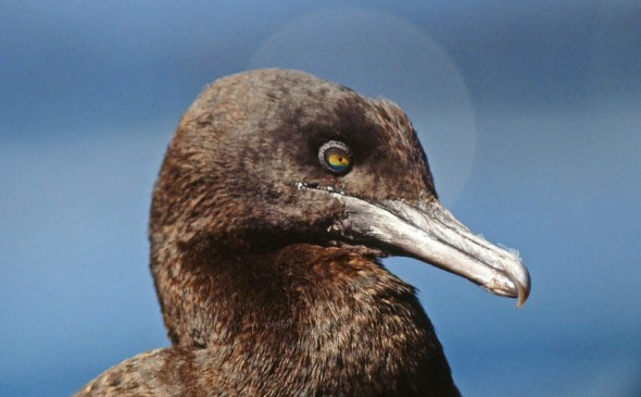 Bank Cormorant Phalacrocorax neglectus (EN)