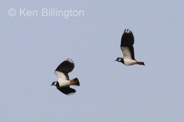 Northern Lapwings in Flight