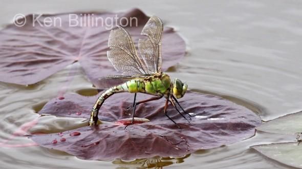 Emperor-Dragonfly-