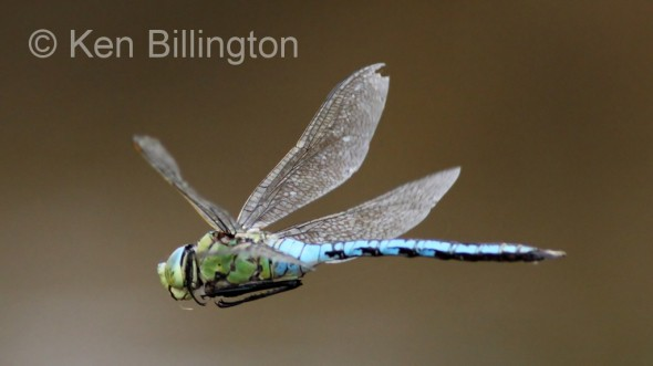 Emperor-Dragonfly-(6).JPG